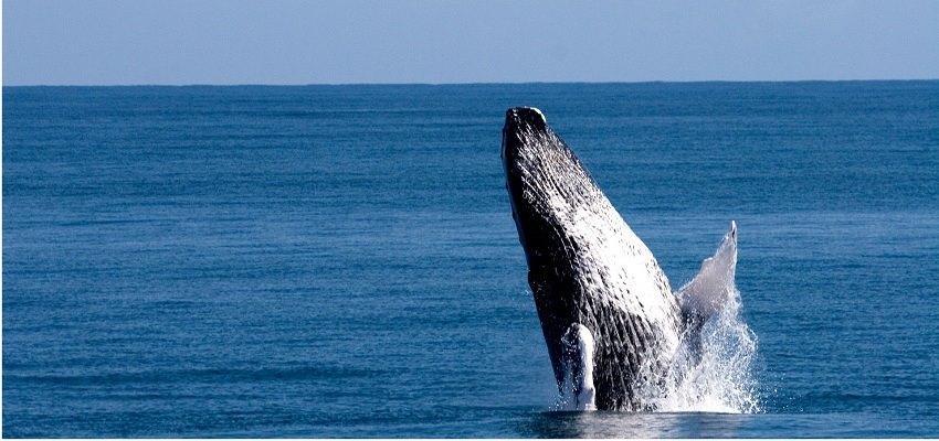 ngắm cá voi ở dominica